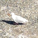 This was THE gull...